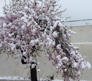 Surreal, snow on blossom!!